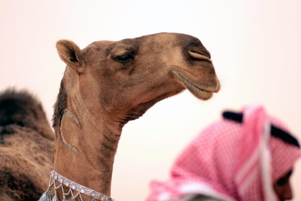 Scientists are still trying to determine if and how the virus was transferred from camels to humans [Xinhua]