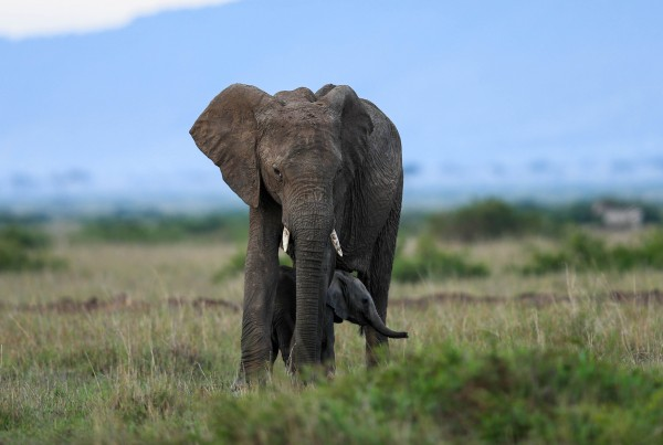 Up to 50,000 elephants are killed for their ivory tusks every year, wildlife agencies say [Xinhua]
