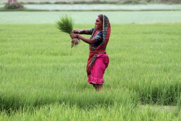 An Indian woman farmer holds a bunch of paddy saplings as she works in a paddy field on the outskirts of Ahmadabad, India, Monday, July 1, 2013 [AP]