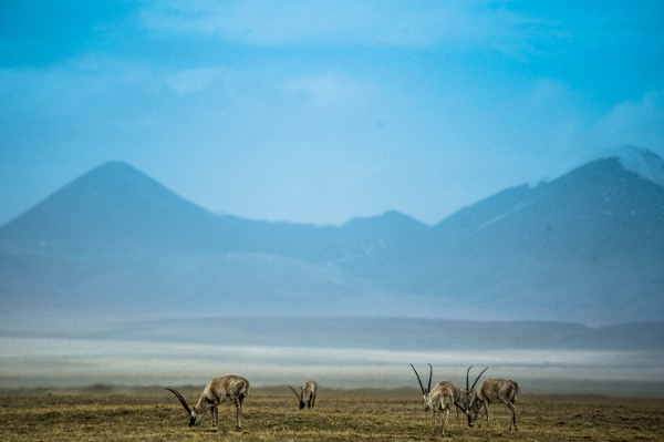 Tibetan antelopes look for food at the foot of Hoh Xil Mountain in Golmud, northwest China's Qinghai Province, June 4, 2014 [Xinhua]