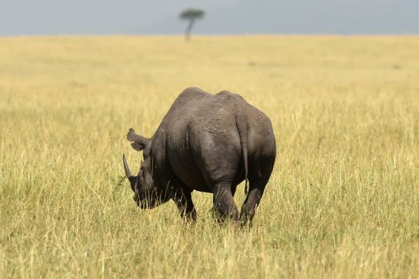 The new plan announced in South Africa yesterday relies on strong cooperation from range countries such as South Africa, Botswana, Kenya and others to boost the number of rhinos, already an endangered species [Xinhua]