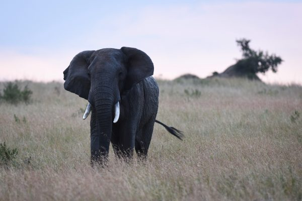An elephant roams the Maasai Mara National Reserve in Kenya. The illegal ivory trade as well as animal trafficking is the fourth largest criminal activity in the world, the EU says [Xinhua]